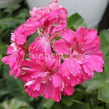 Cerize Carnation / укор.черенок