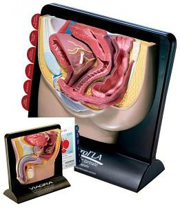 Модель органов таза