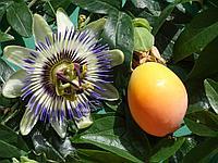 Маракуйя или  Passiflora Сaerulia