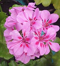 Temprano Lavender Splash/ подрощенное растение