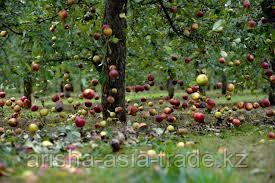 Формирование урожайности в саду. Закладка плодовой почки в саду (семечковый, косточковый).