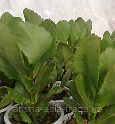 Каланхоэ комнатное   Такое растение является лечебным. Оно отличается противомикробным, кровоостанавливающим,