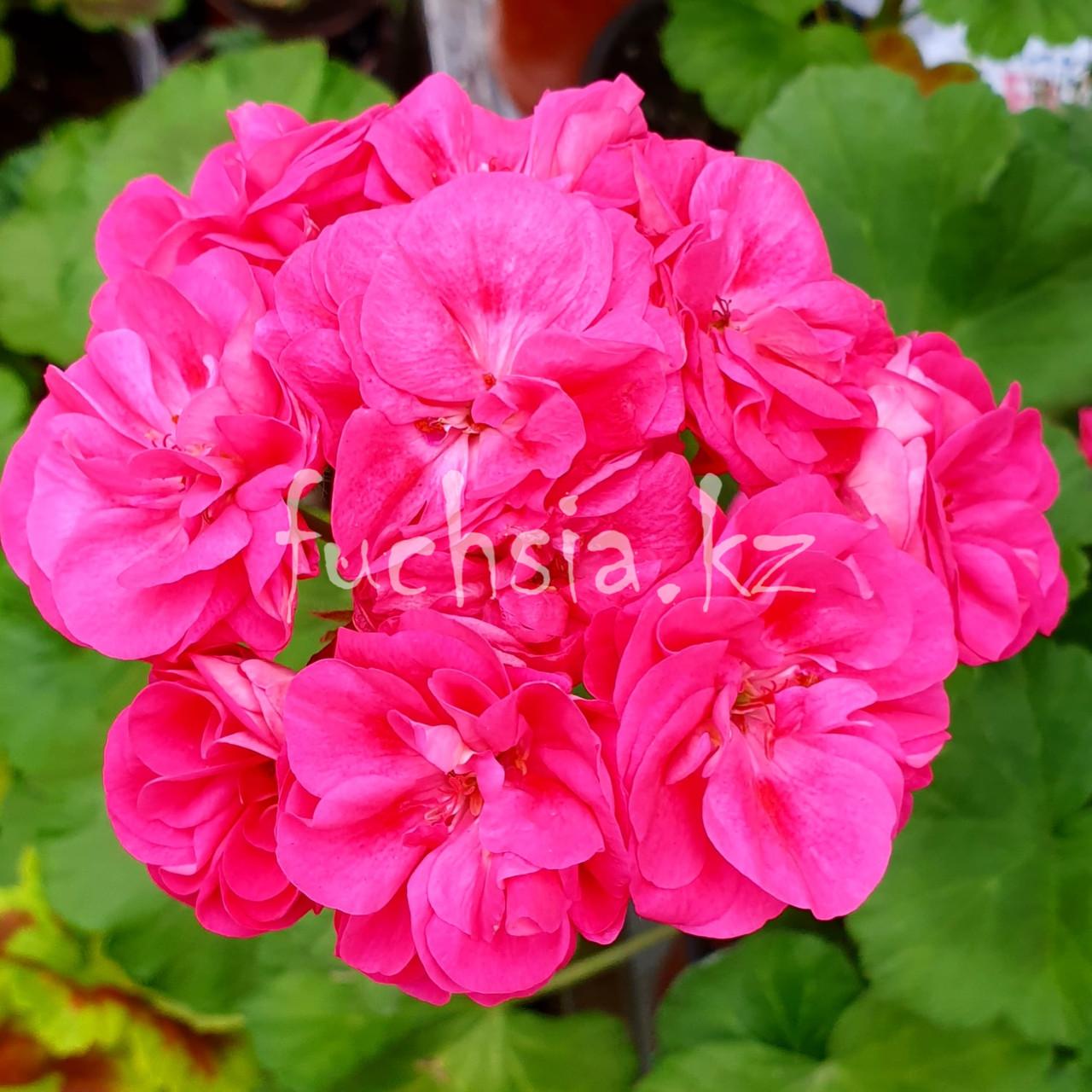 Rosalinda Survivor/ розебуд /укор.черенок