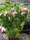 Sam / взрослое цветущее растение, фото 2