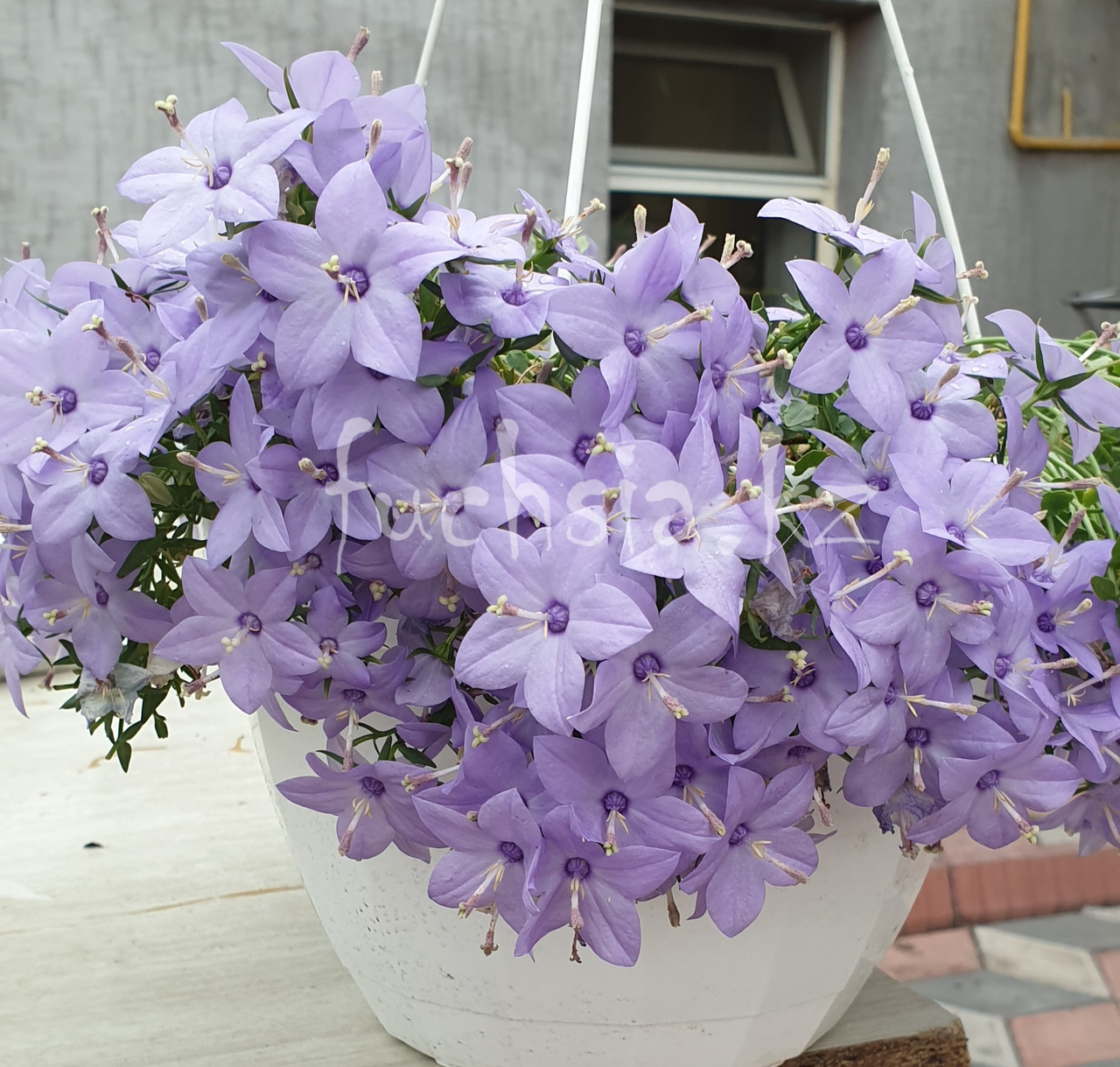 Chirillo/взрослое растение