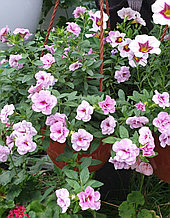 Aloha Double Soft Pink Eye  №419 / подрощенное растение