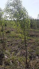 Ива Свердловская извилистая II, фото 3