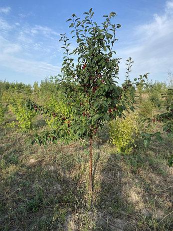 Яблоня 'Red Obelisk', фото 2