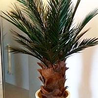 Стабилизированные пальмы