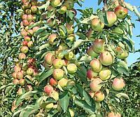 Посадка саженцев плодовых деревьев