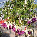 Deep Purple / подрощенное растение, фото 2