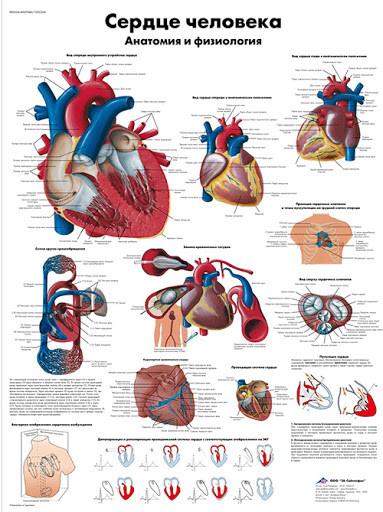 """Электрифицированная модель """"Сердце человека"""", 415х660 мм, 1 планшет"""