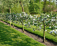 Посадка деревьев от 2 м. на шпалере