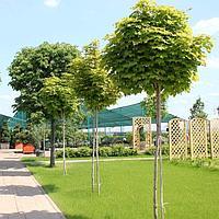 Посадка деревьев от 2 до 5 м. на штамбе
