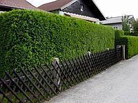 Живые изгороди кустарника от 1,5 м стриженого