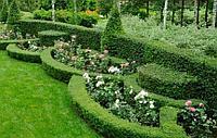 Живые изгороди низкорослого кустарника