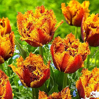 """Луковицы тюльпана бахромчатого """"Бастиа""""."""