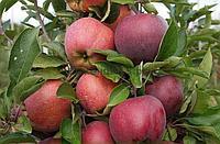 Яблоня Благая Весть (саженцы)