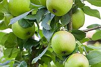 Яблоня Свердловчанин (саженцы)