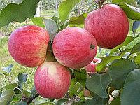 Яблони Мельба (саженцы)