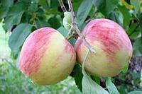 Яблони Росошанское полосатое (саженцы)