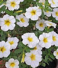 Minifamous Uno White Yellow Eye №448 / укор.черенок