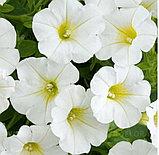 Littletunia White Grace № 546 / подрощенное растение, фото 2