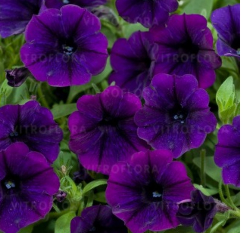 Littletunia Purple Blue № 549