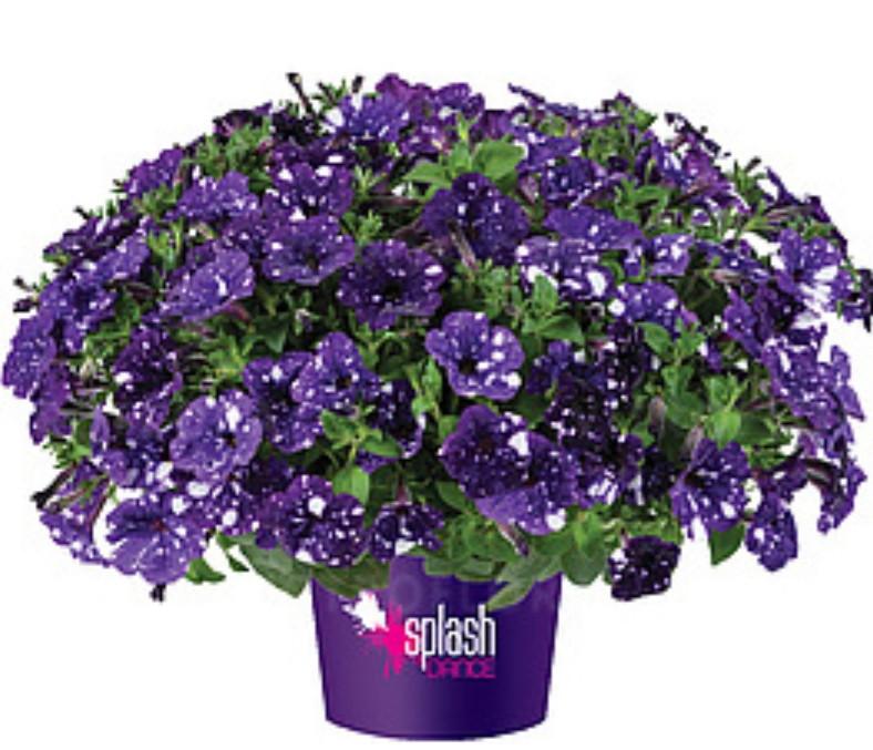 Splash Dancer Bolero Blue №551/ подрощенное растение