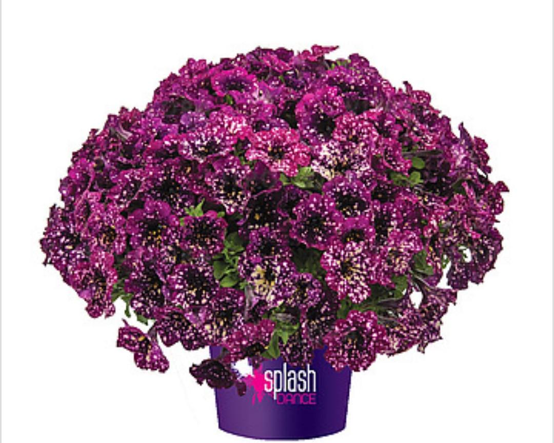 Splash Dancer Magenta Mambo №552 / подрощенное растение