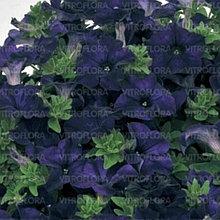 Fanfare Dark Blue № 507 / подрощенное растение