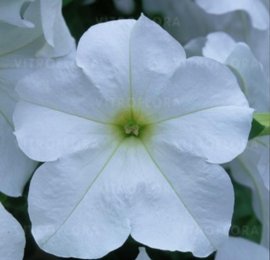 Fanfare White