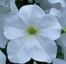 Fanfare White №500 /подрощенное растение