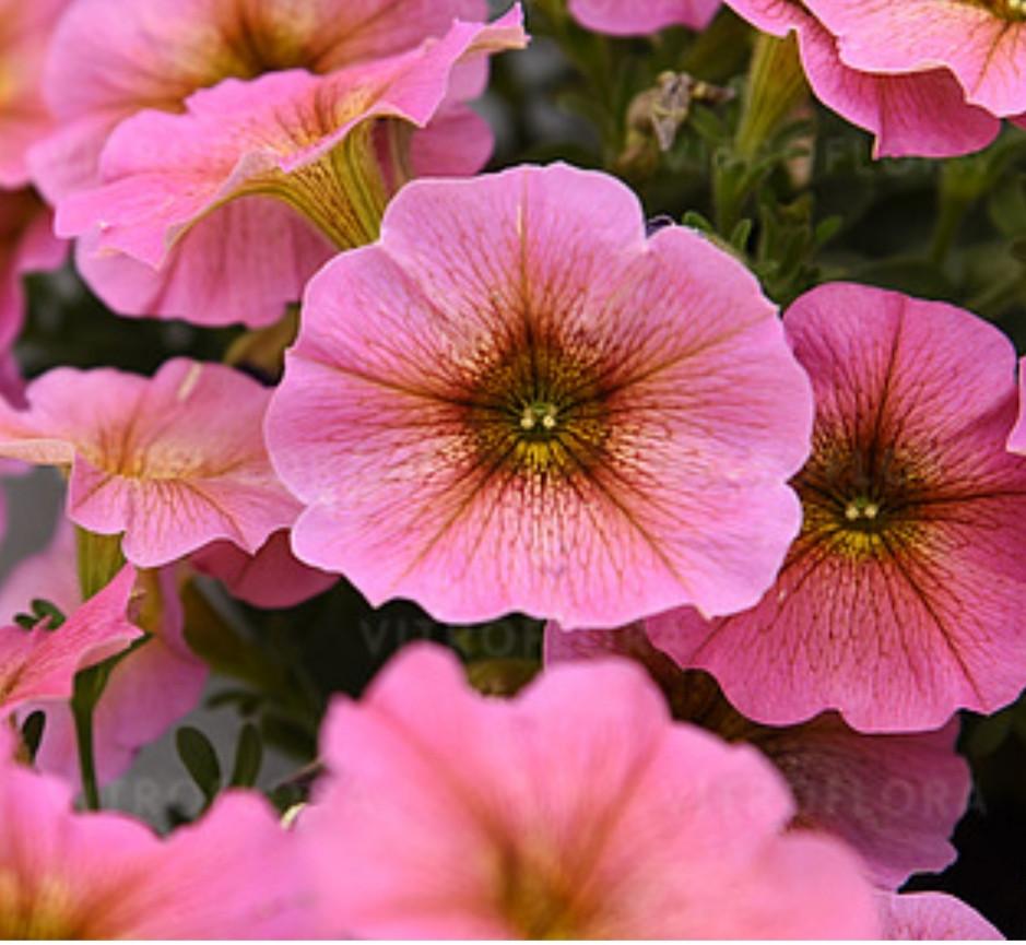Petchoa Beautical Sunray Pink 557