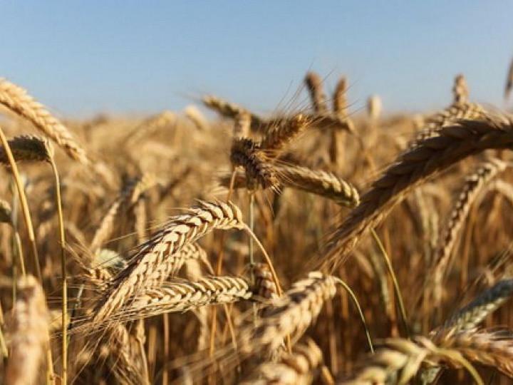 Пшеница высококачественная для браги и самогона
