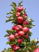 История появления и биологические особенности колоновидных яблонь