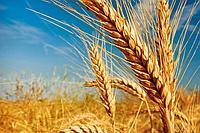БИЗНЕС-ПЛАН Выращивание пшеницы