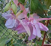 Holly's Beauty / подрощенное растение