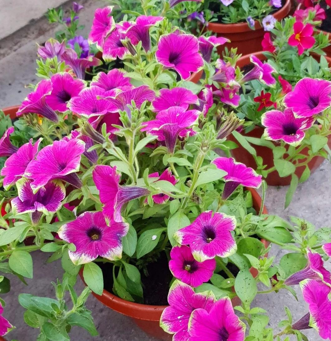 Cascadias Pitaya №535 / подрощенное растение