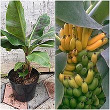 Банан Киевский Карлик
