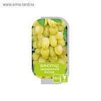 Саженец винограда Восторг, 1шт , Весна 2021