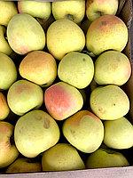 Яблоко сорт Золотой Алматы