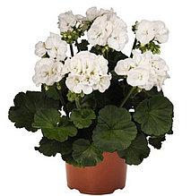 Green Idols White / подрощенное растение