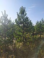 Саженцы сосны 2,5-3 м