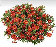 Aloha Classic Orange Cart Wheel №407/ подрощенное растение