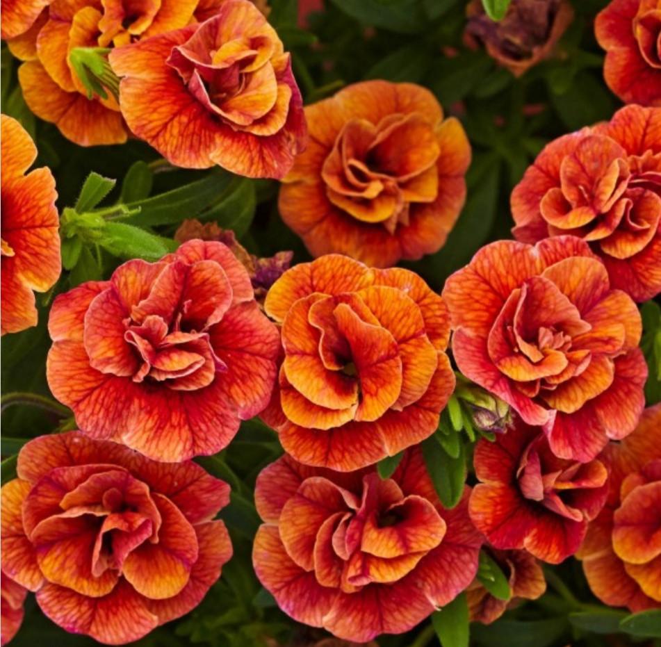 Aloha Double Orange №409 / укор.черенок