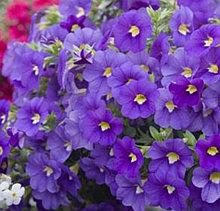 Calitastic Indigo №425 / подрощенное растение