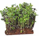 Набор семян для микрозелени: капуста листовая Кале, фото 4