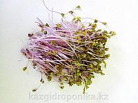 Кольраби пурпурный семена для микрозелени, 100г