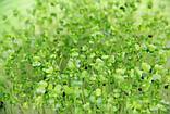 Пак-чой зеленый стебель  для микрозелени, 100г, фото 2